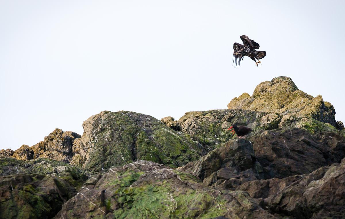 eagle-takes-flight-tofino.jpg