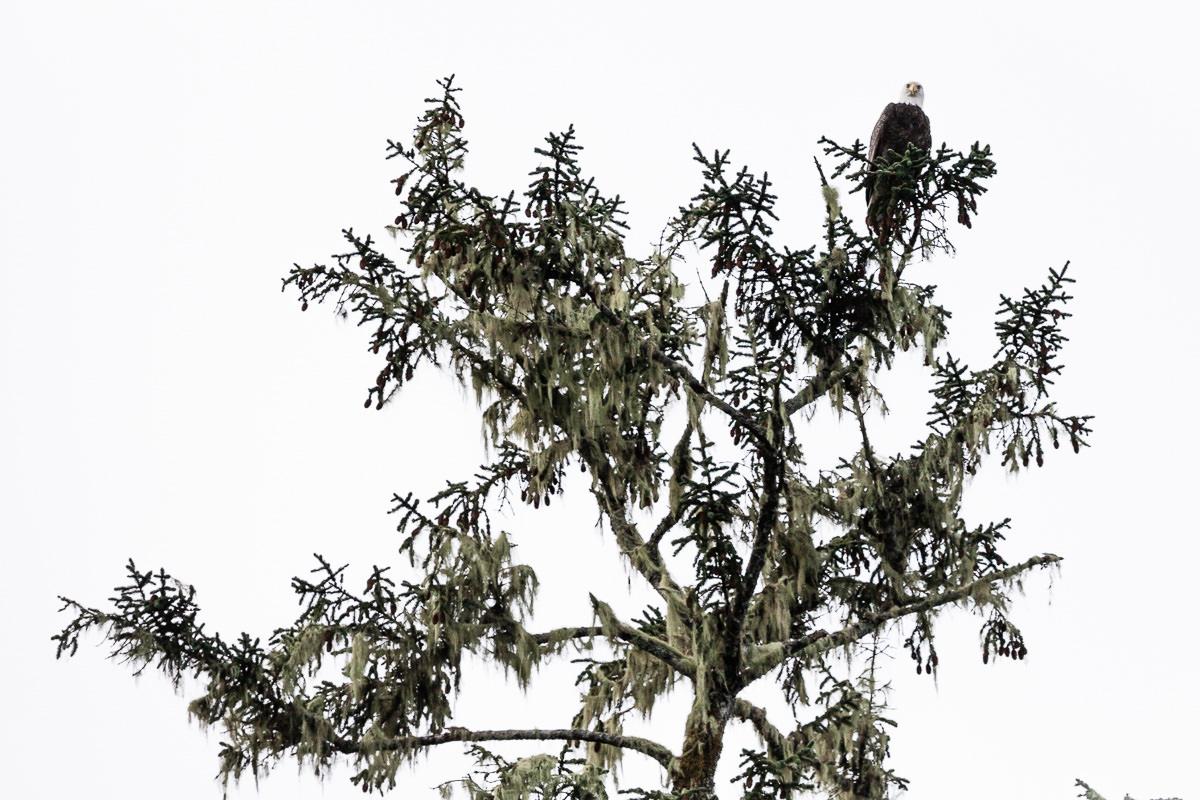 bald-eagle-in-tree-tofino.jpg