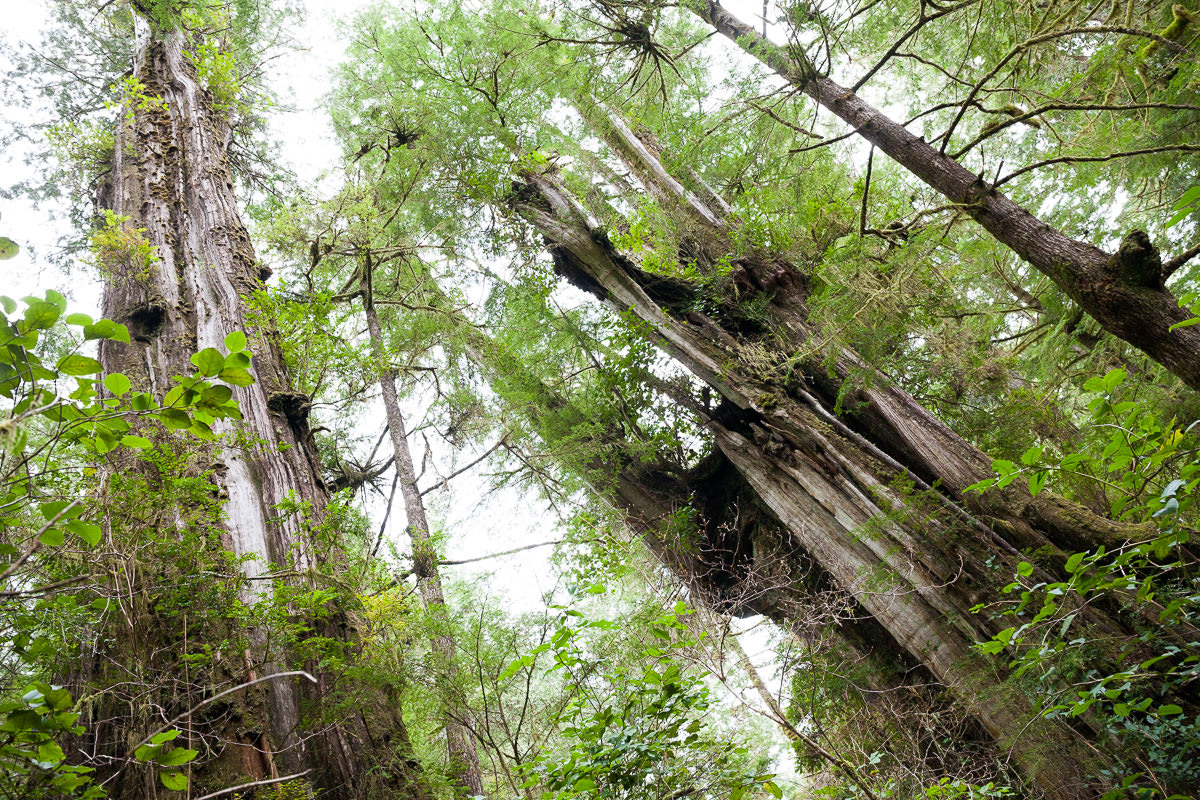 meares-island-old-growth-forest.jpg