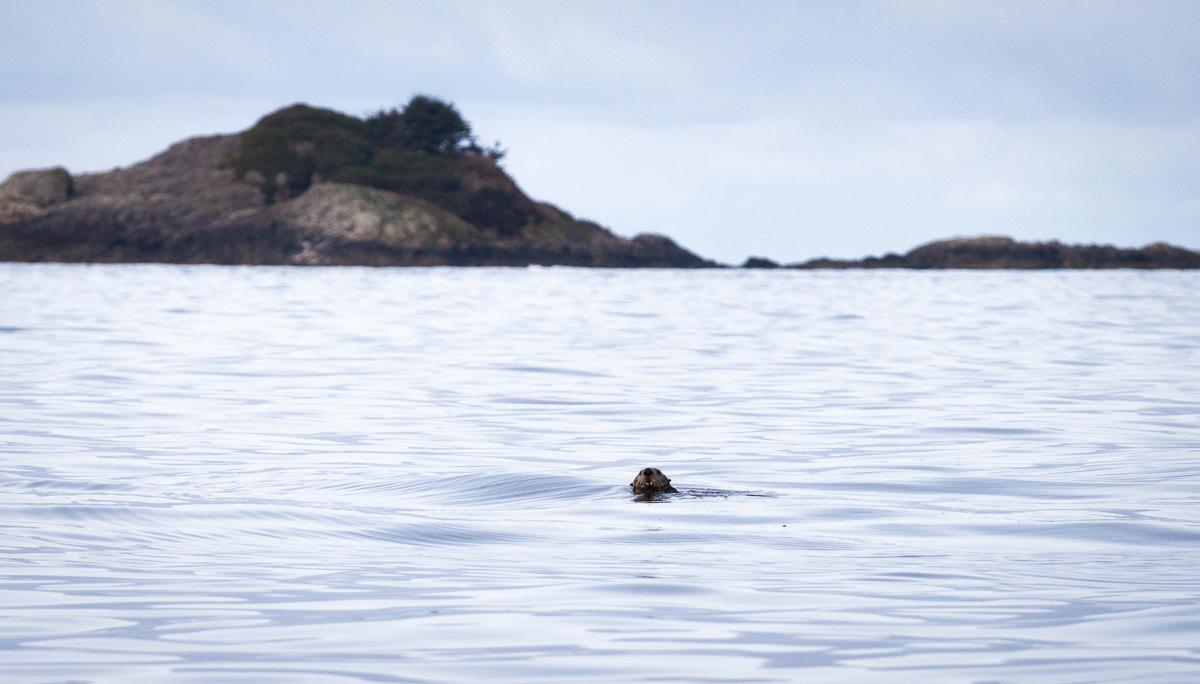 sea-otter-ocean-tofino.jpg