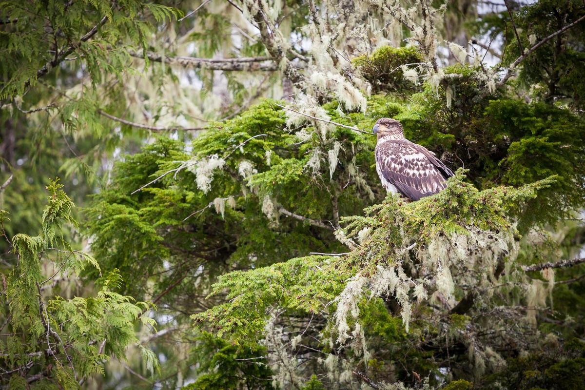 young-bald-eagle-meares-island.jpg