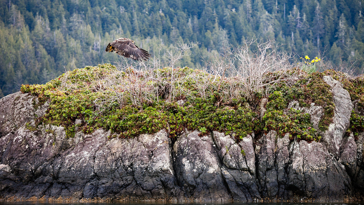 young-eagle-meares-island.jpg