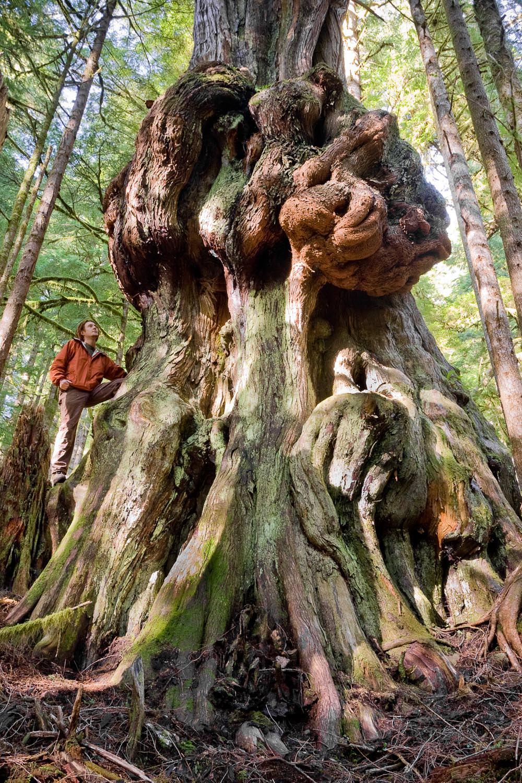 avatar-grove-canadas-gnarliest-tree.jpg