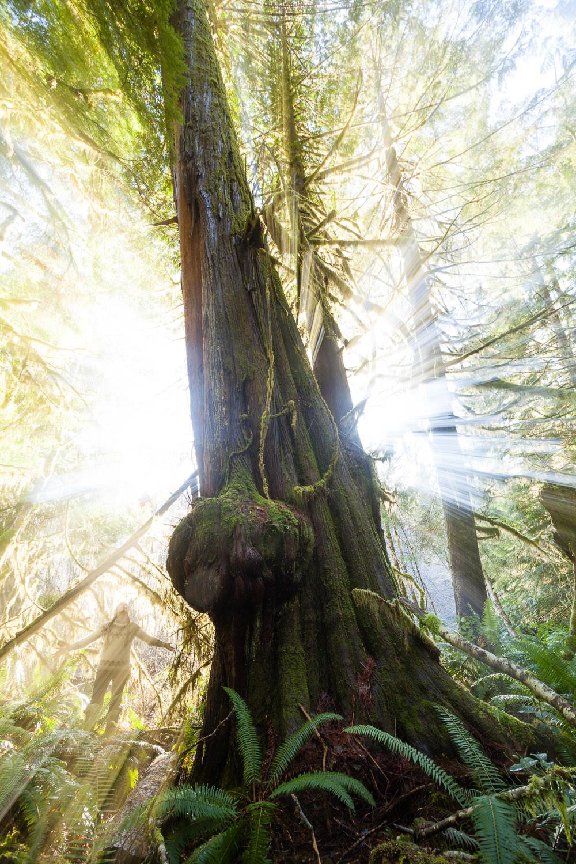 avatar-grove-magic-cedar-tree.jpg