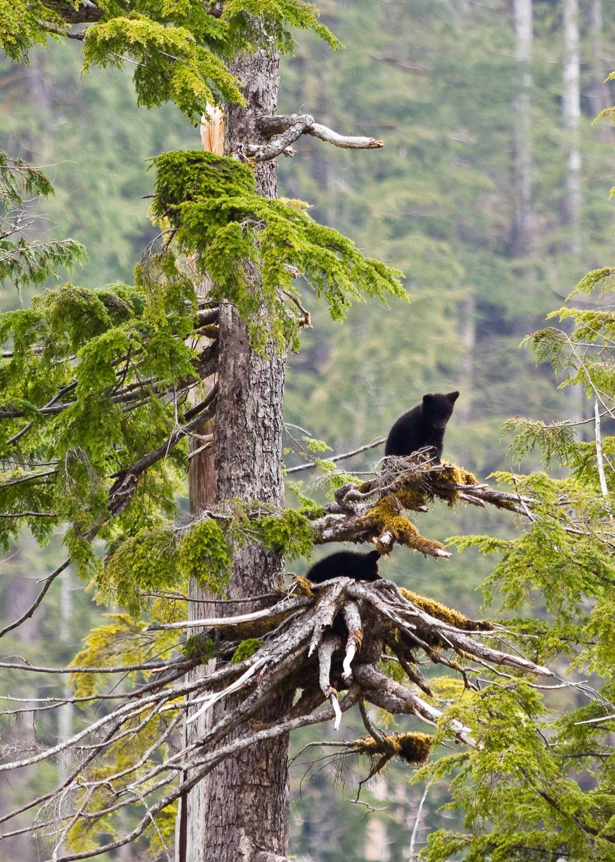 walbran-valley-black-bear-cubs-tree.jpg