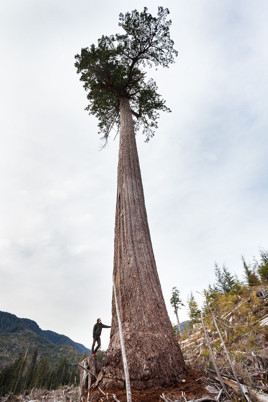 big-lonely-doug-record-tree.jpg