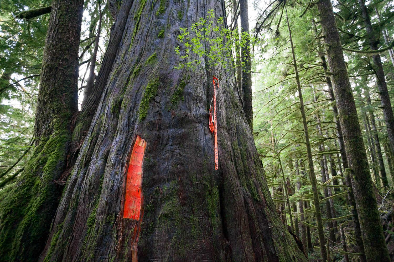 big-tree-marked-for-logging.jpg