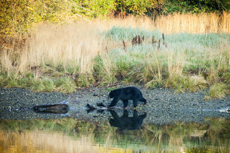 black-bear-estuary-gordon-river.jpg