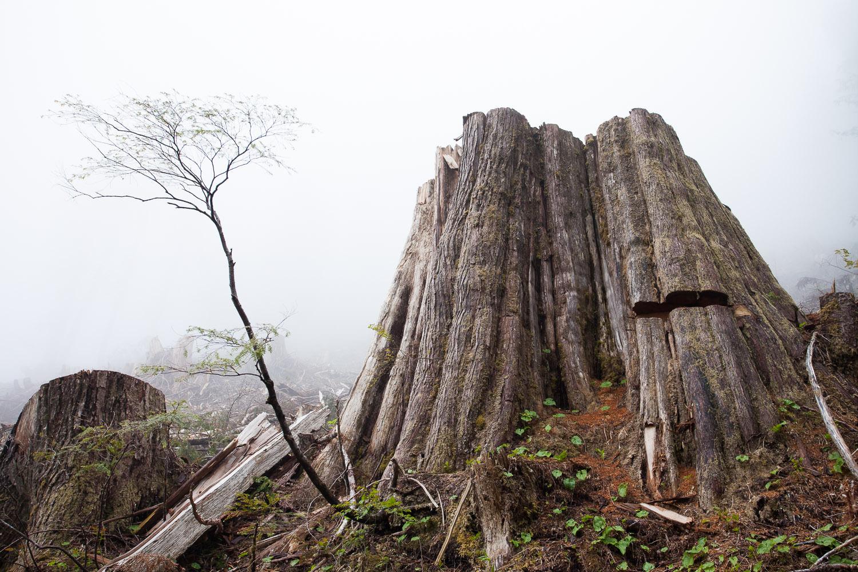 camper-creek-big-cedar-stump.jpg