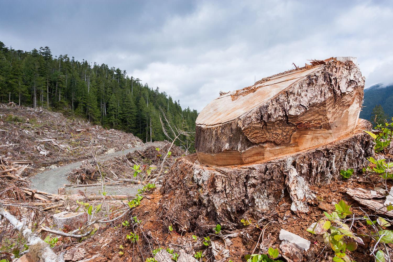 gordon-river-douglas-fir-tree-stump.jpg