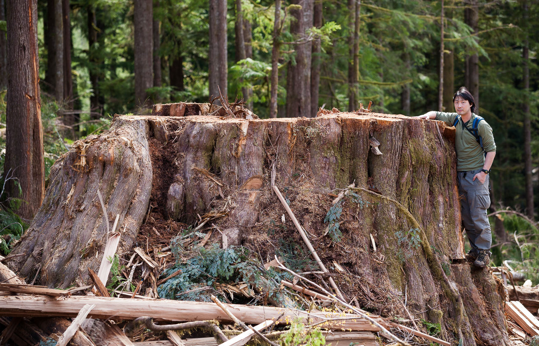 huge-red-cedar-stump-port-renfrew.jpg