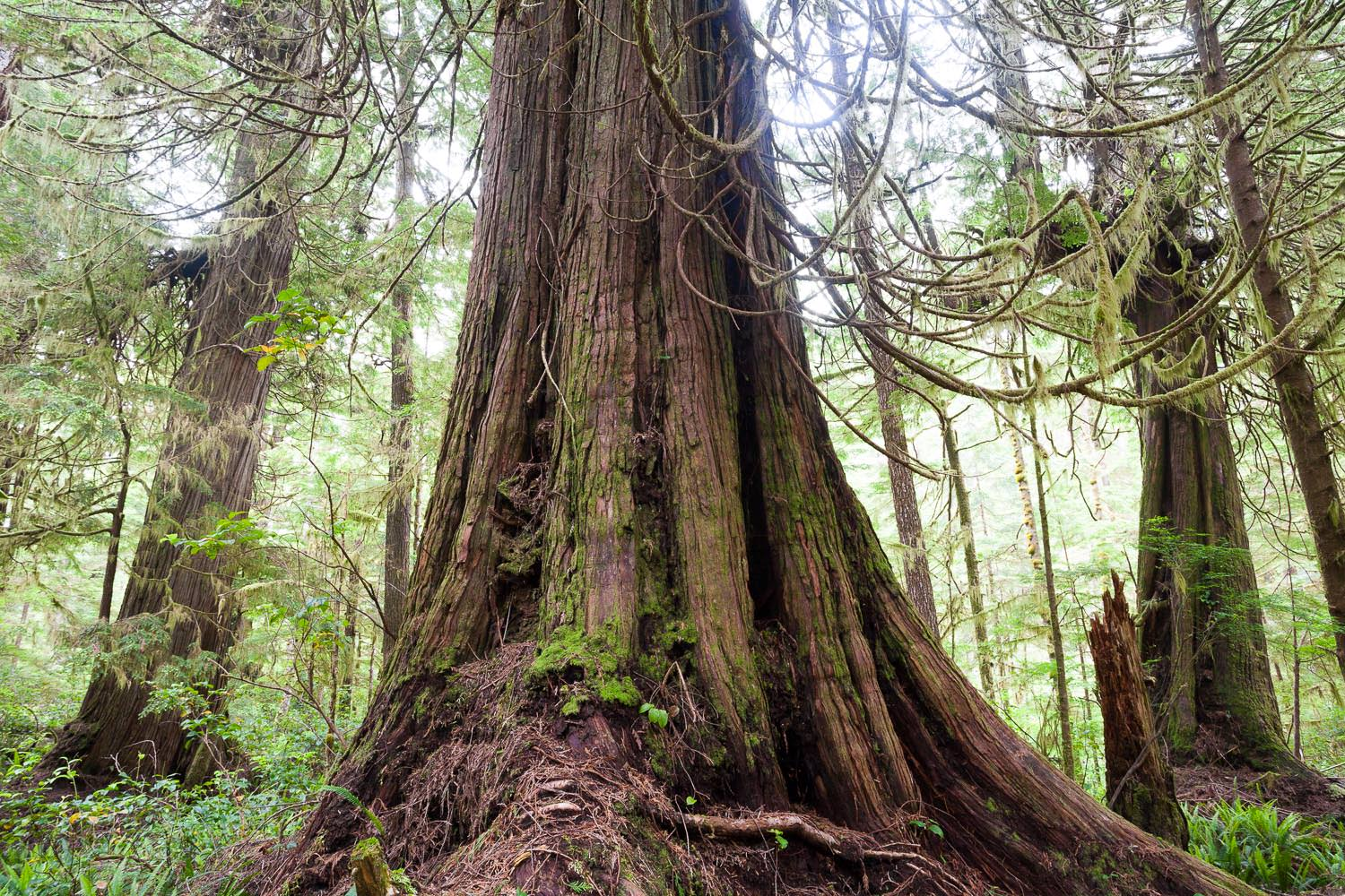 west-coast-trail-old-growth-fores.jpg