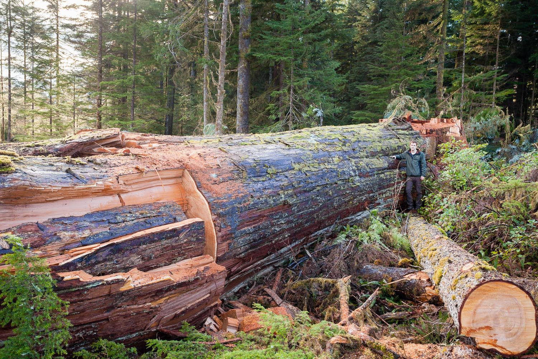 klanawa-valley-ancient-cedar-cut-down.jpg