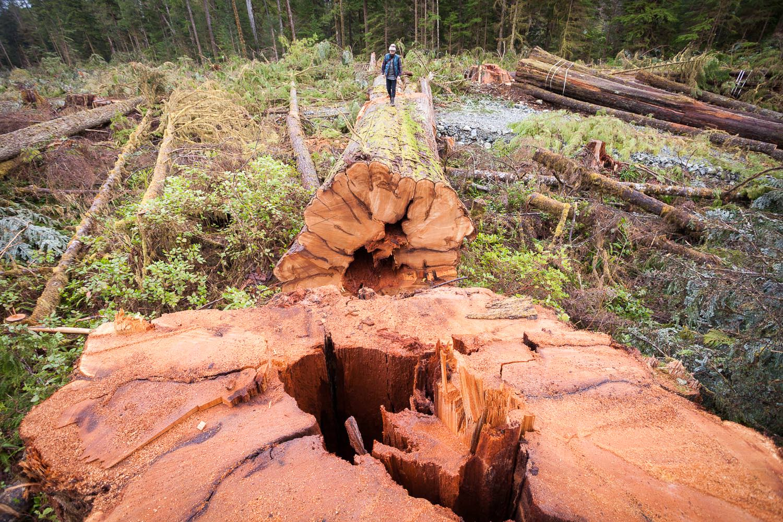 klanawa-valley-giant-tree-logged.jpg