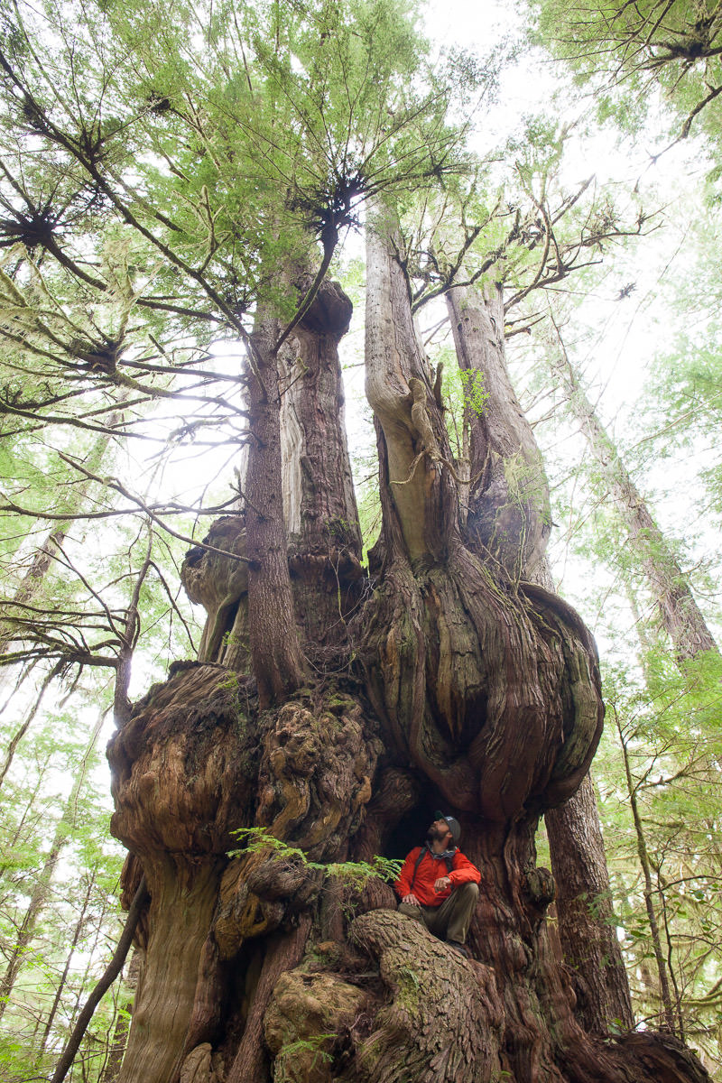 One of the immense redcedar trees along the trail to the Cheewhat Giant!