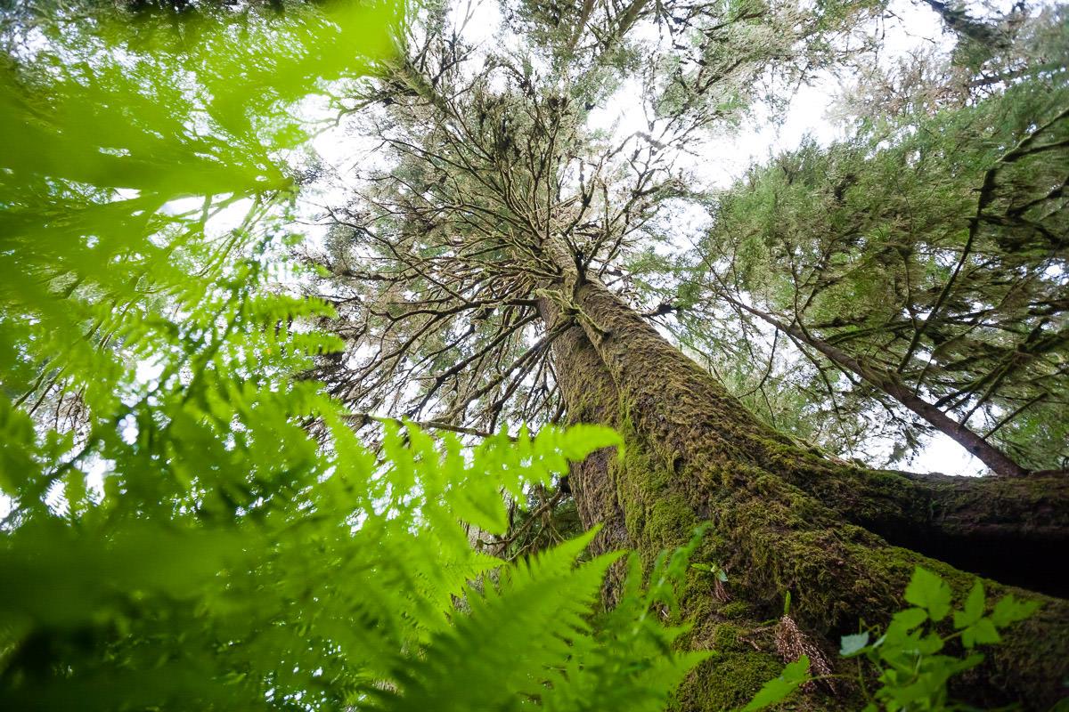 Heaven Tree - Carmanah Valley.