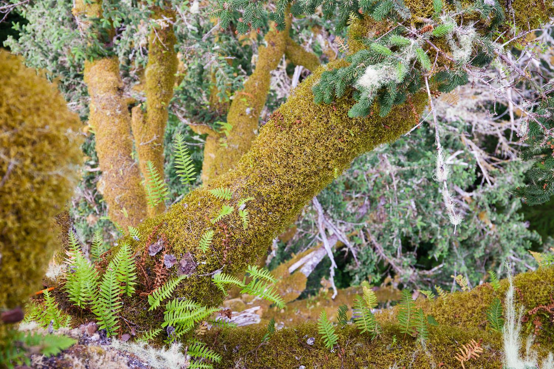 carmanah-sitka-spruce-canopy-epiphytes.jpg