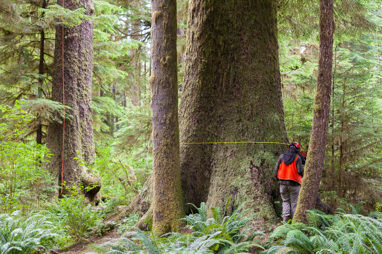 carmanah-valley-measuring-trees-dbh.jpg