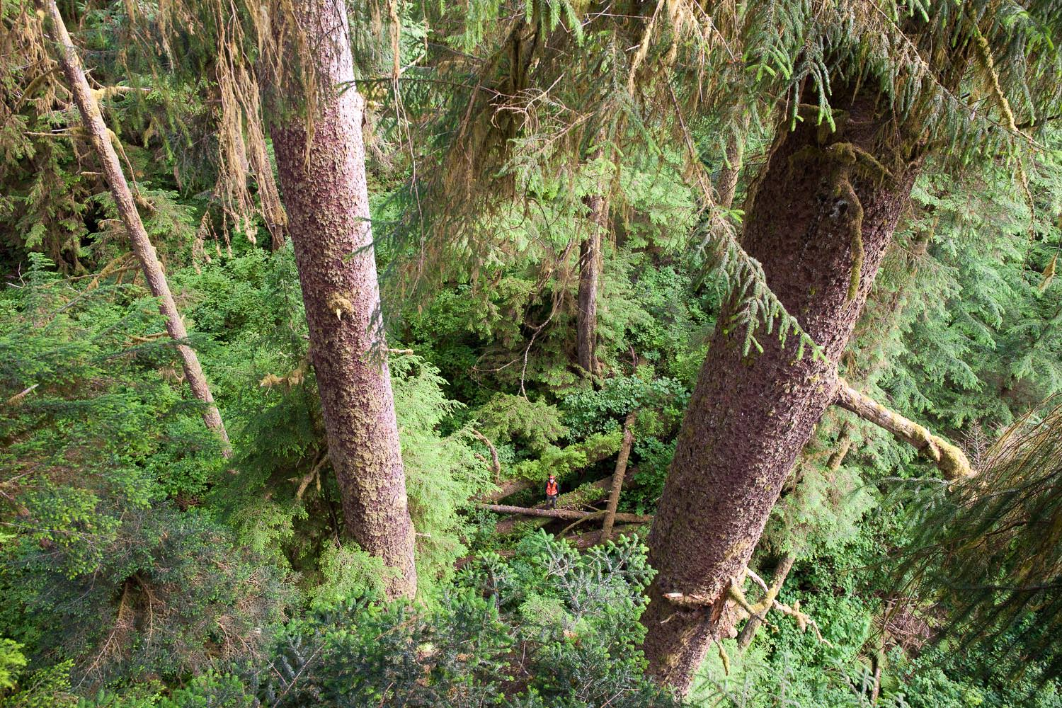 carmanah-valley-sitka-spruce-tree-climb.jpg