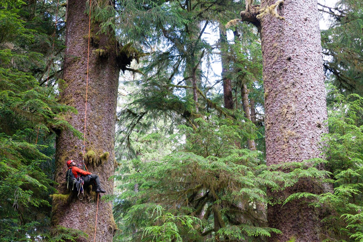 carmanah-valley-tree-climbing-sitka-spruce-1.jpg