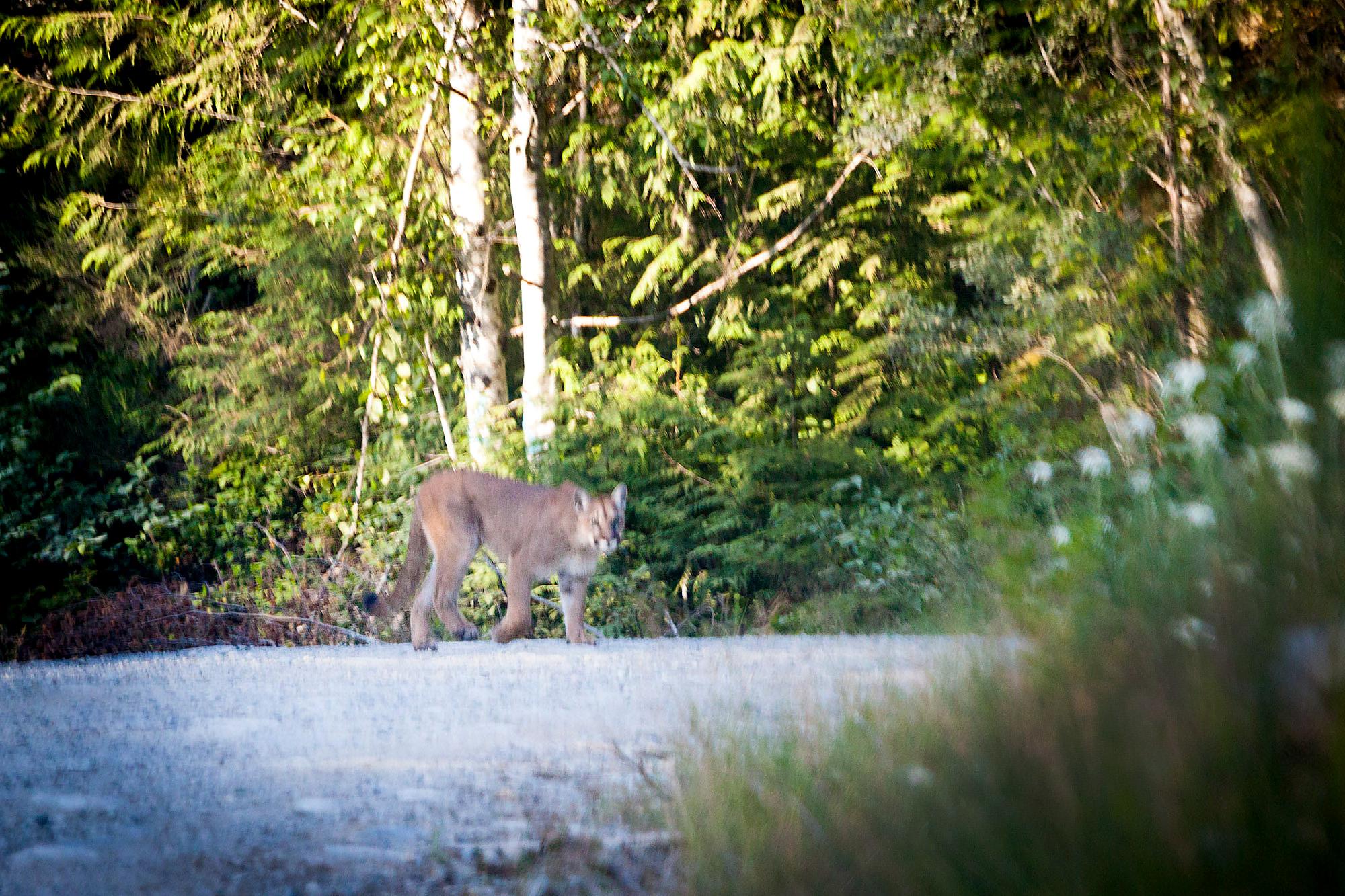 Cougar-Walbran-Valley-TJ-Watt-2.jpg