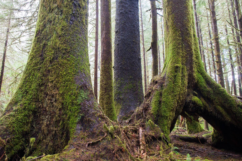 klanawa-valley-oldgrowth-sitka-spruce-trees.jpg