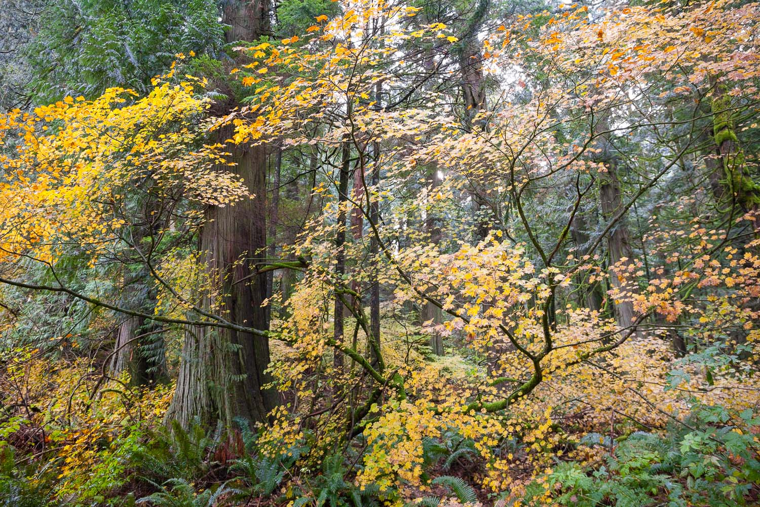 vine-maple-redcedar-echo-lake-forest.jpg