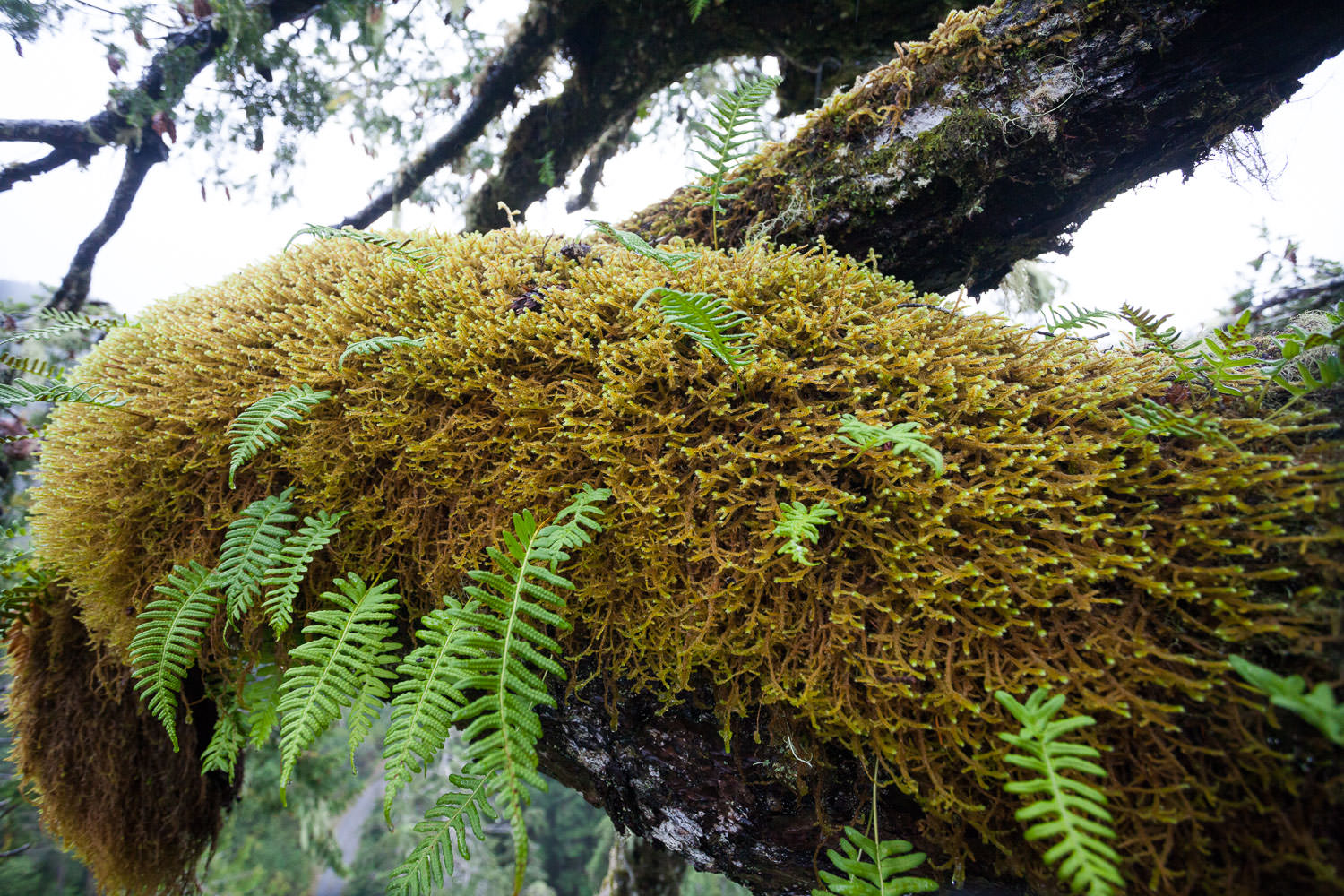 A bed of moss and licorice fern.