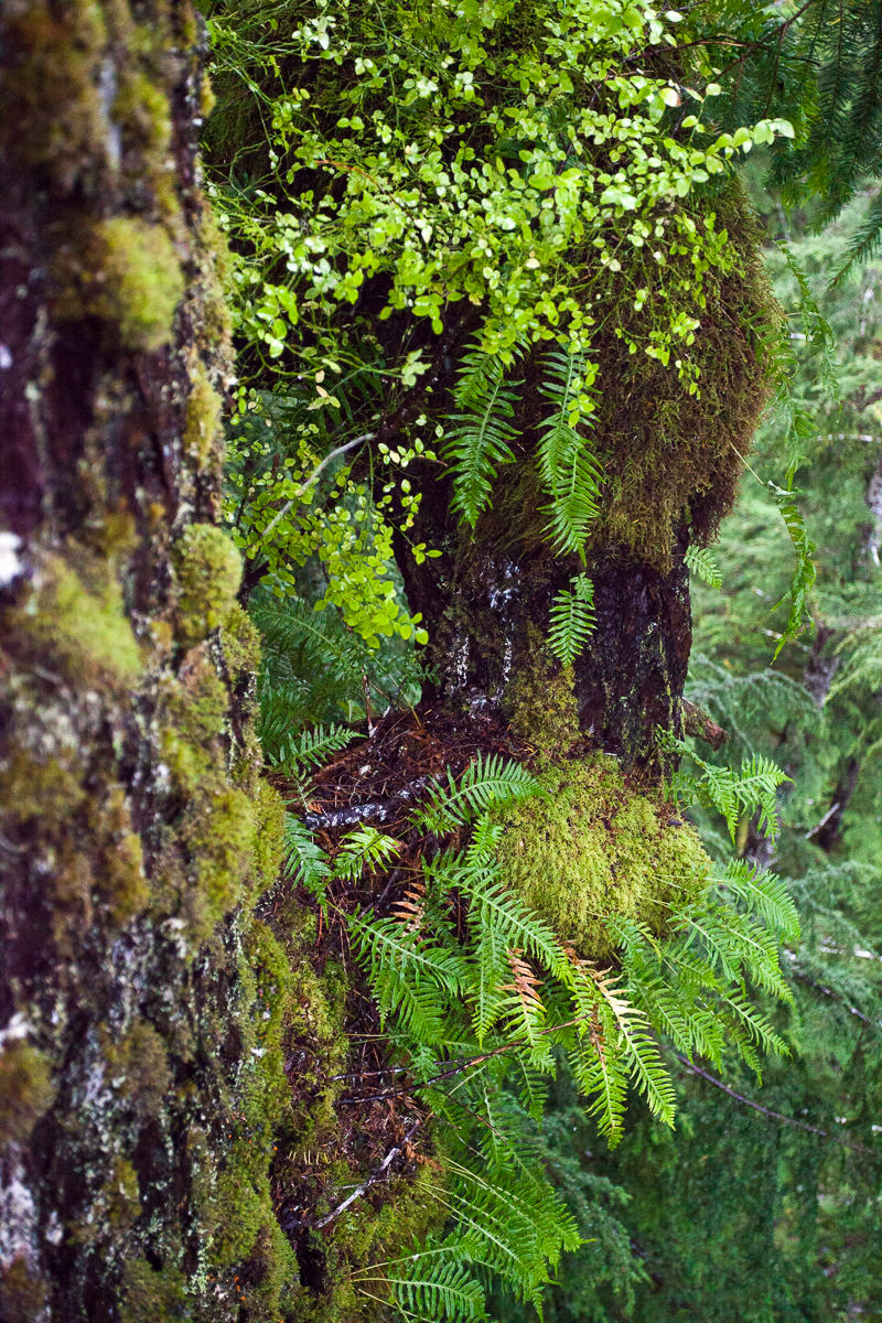 A beautiful garden of mosses and licorice ferns high above the forest floor.