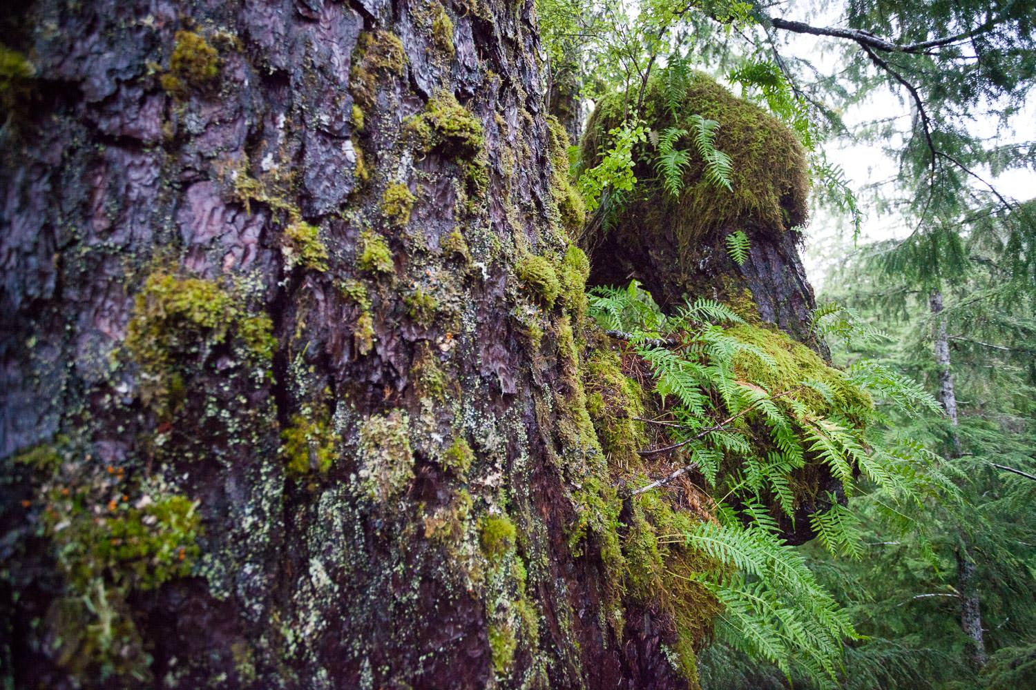Suspended soil and canopy gardens are unique to old-growth forests.
