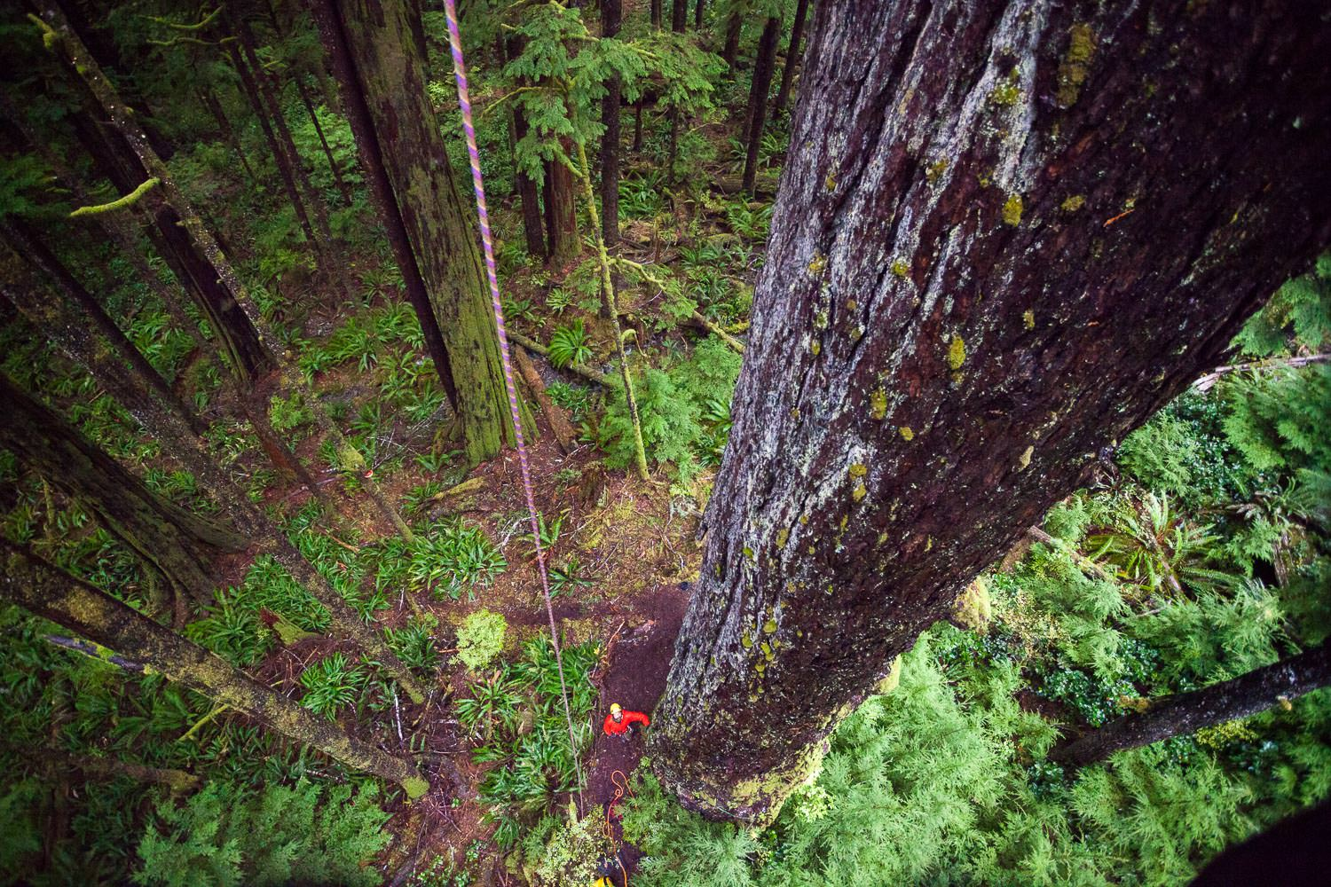tree-climb-old-growth-douglas-fir-tree.jpg