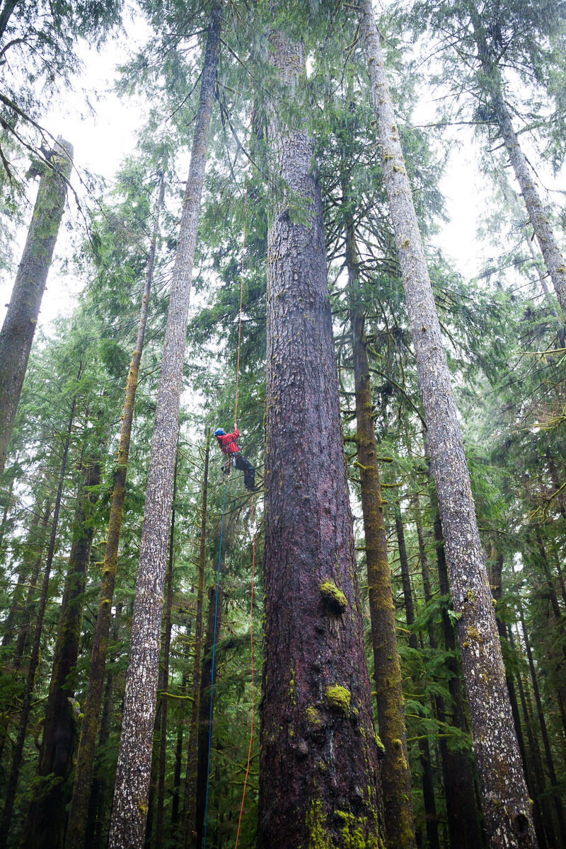 Tree-Climber-Old-Growth-Douglas-Fir.jpg