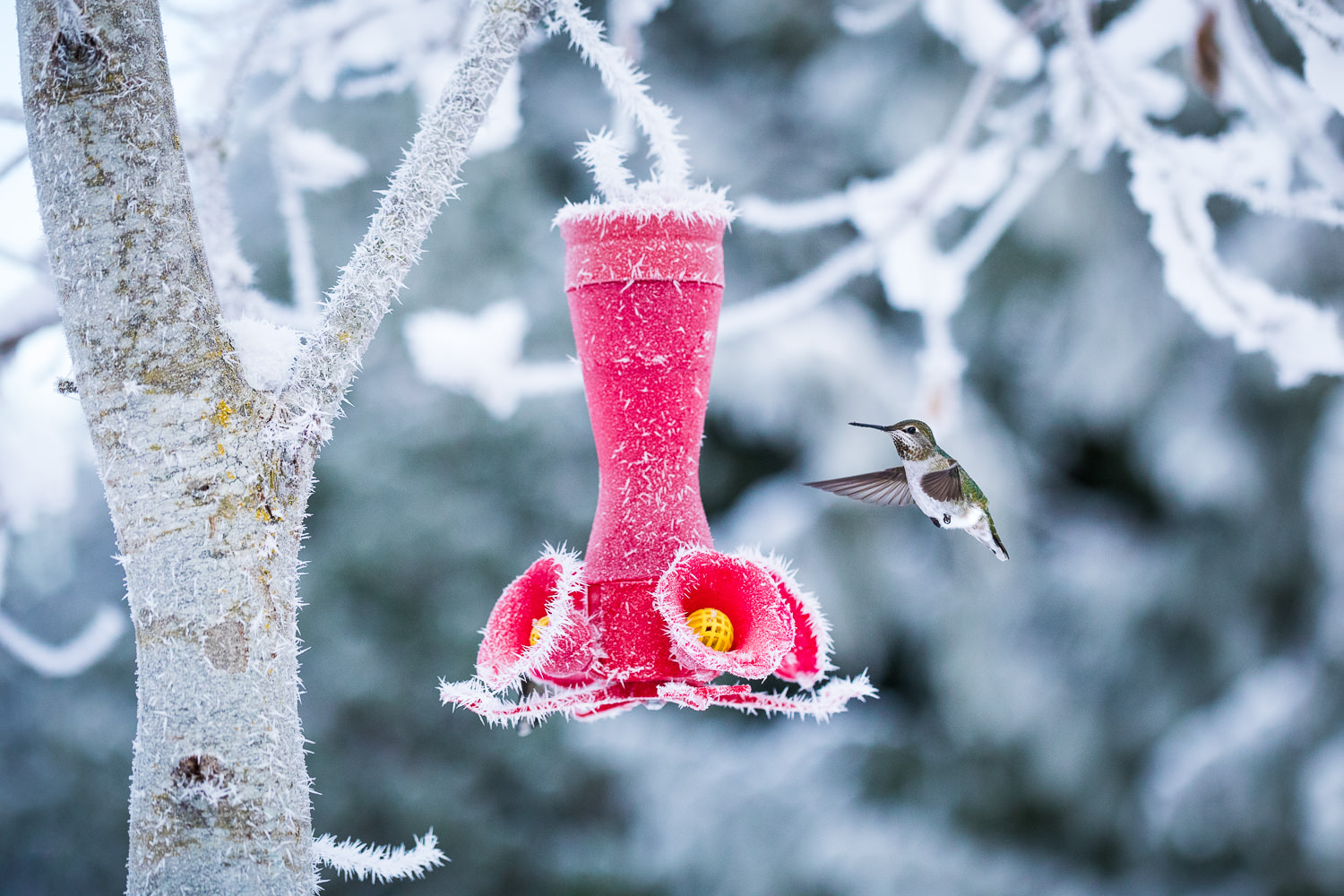 annas-hummingbird-winter-frost-bc.jpg