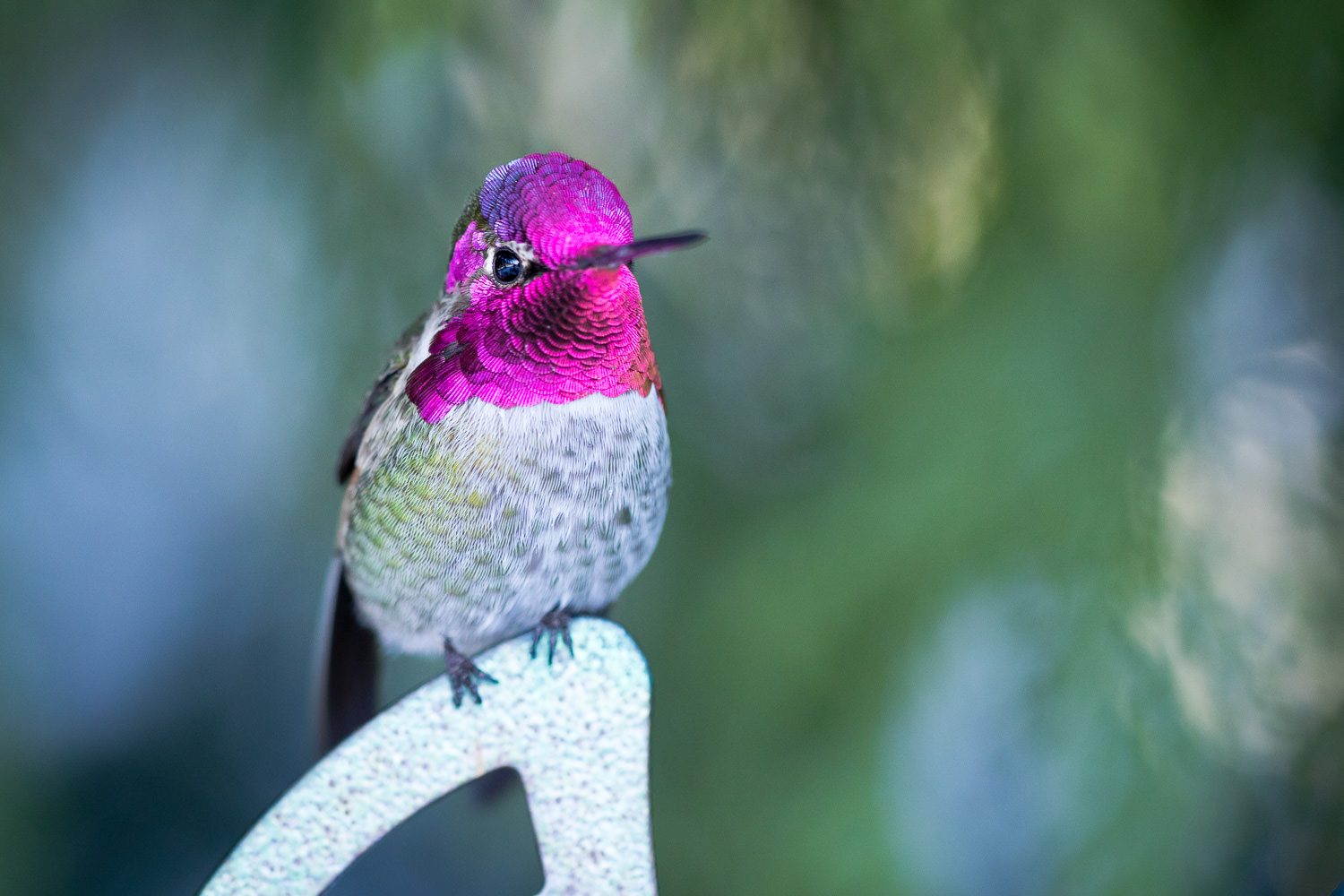 A second shot of the hummingbird on one of his favourite perches. His colours and cute little feet are just the best!