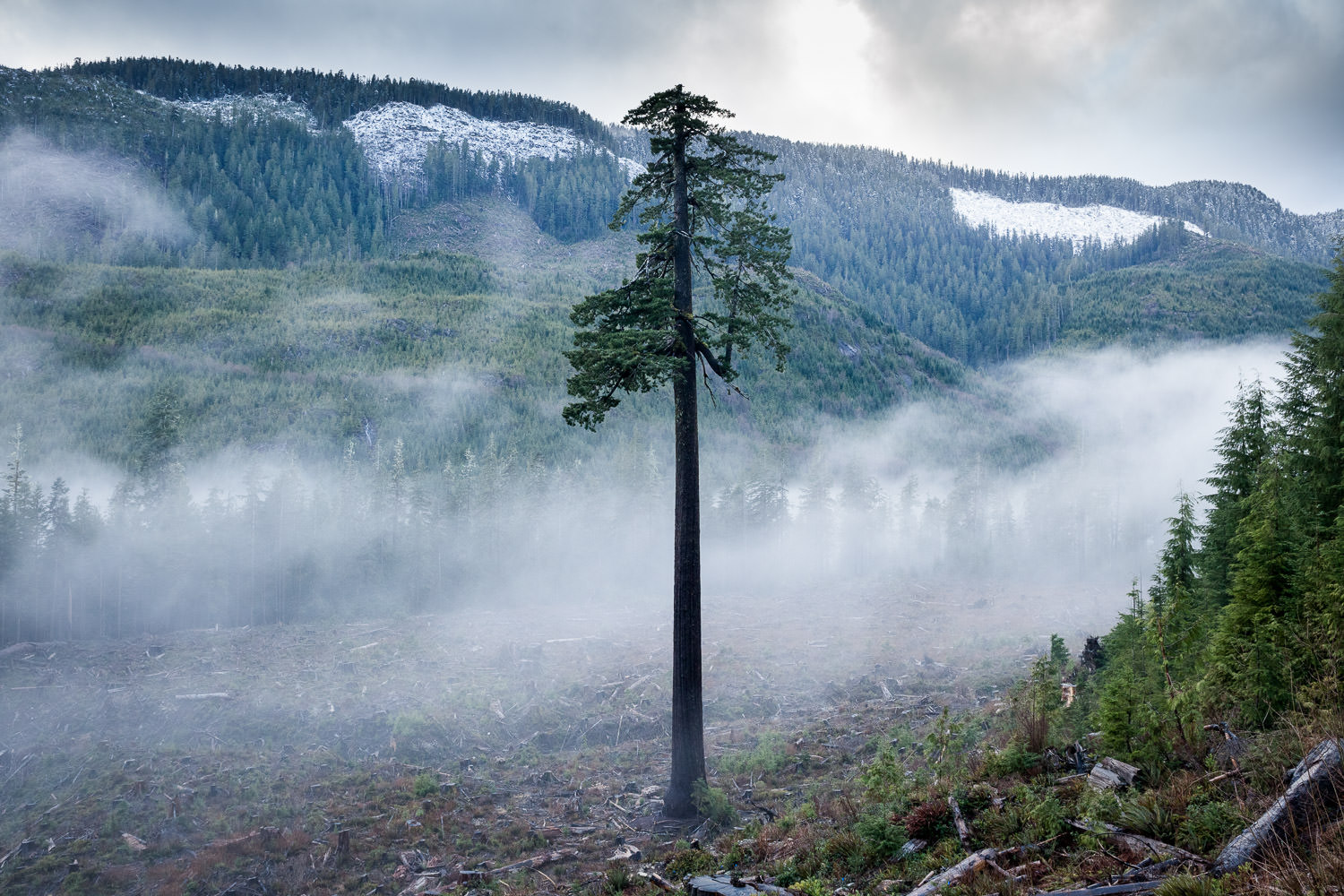 Fog drifts across the clearcut surrounding Big Lonely Doug in winter time. This might be my favourite photo of BLD. I love the way the passing fog acted as backdrop for the tree and set the solemn mood. Doug has become quite the star over the past few years, with people coming from around the world to pay their respects. Although he's lost some of his closest relatives, I hope he senses that we humans do indeed care about him and the fate of our remaining ancient forests as well.  Canon 5D MK2   24-70 f/4L IS lens   1/125 sec   f/5.6   ISO 1000