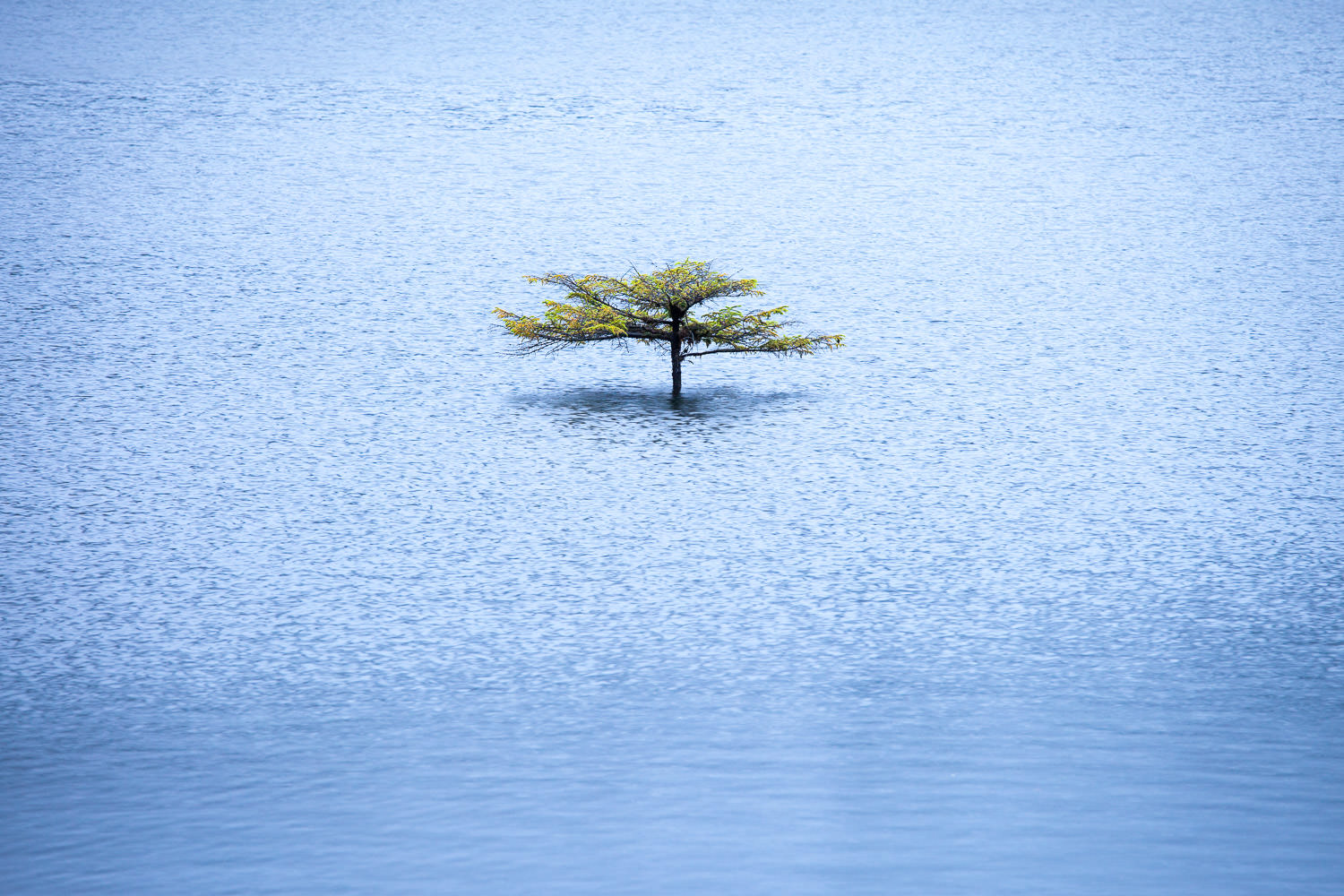 The little bonsai tree growing out of sunken log at Fairy Lake must be one of the most recognizable and photographed trees on Vancouver Island. That only makes for a fun challenge though, to see how you might capture it in new and unique ways. Since the lake is connected to the nearby San Juan River, water levels can rise dramatically during periods of heavy rain. When they did just this fall, it left only part of the tree poking through the lake's surface. At times, the entire tree can become submerged. How it lives through all of this I am not quite sure, but I'm sure happy that it does.  Canon 5D MK2   70-200 f/4L IS lens   1/4 sec   f/6.3   ISO 200.