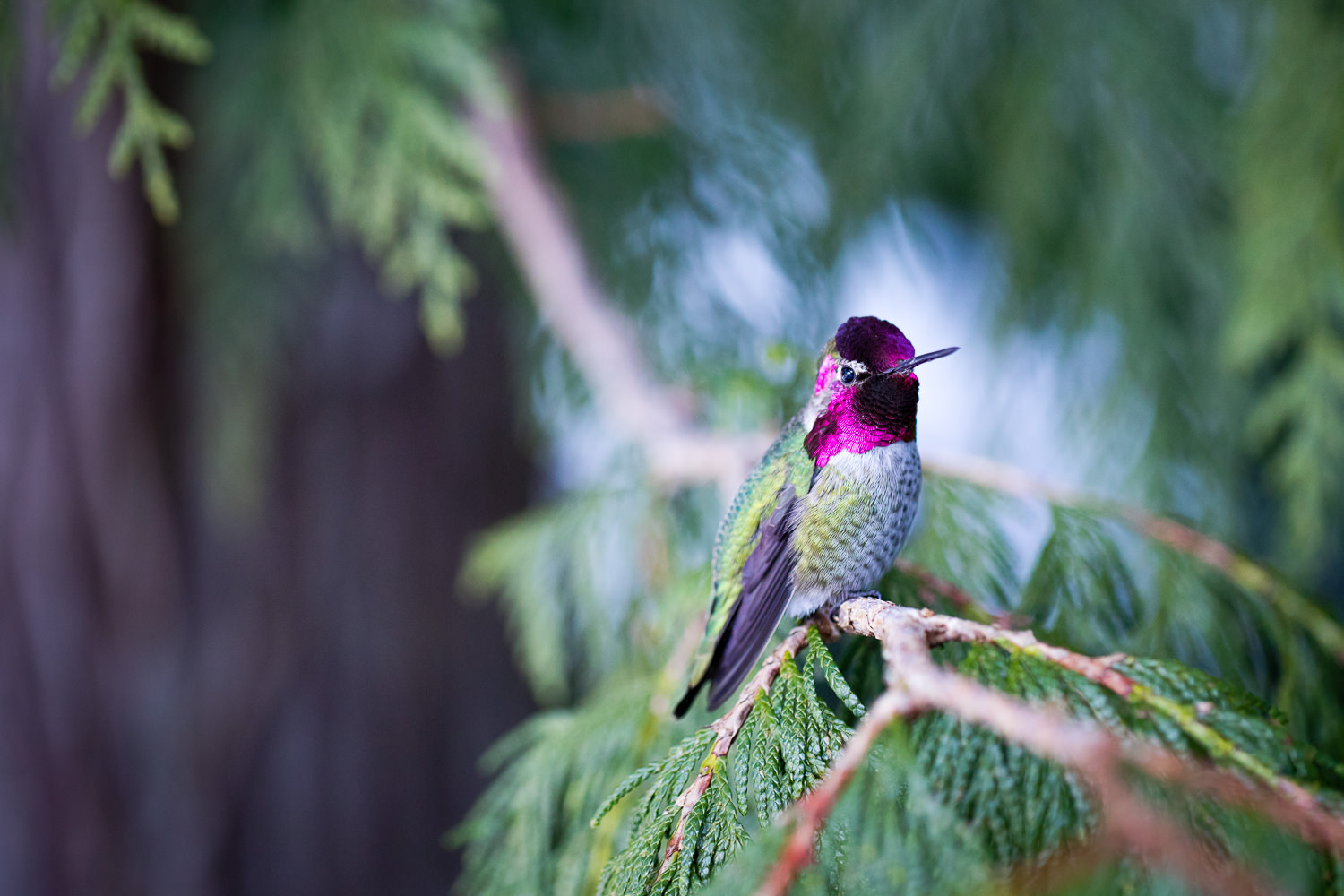 A male Anna's hummingbird sits perched on the branch of a cedar tree. After closely watching this little guy's patterns early each morning, I noticed he tended to land in a few particular places. So, with the hopes of capturing an image of him in his natural setting, I carefully set up my camera with remote shooting and began to watch the branch for the next 4 hours. Getting the timing and focus just right was extremely tough but after some narrowly missed attempts, it finally worked out! It took a lot of patience and planning to create this image but I'm super happy with it and have a newfound love for this beautiful bird.  Canon 5D MK4 | 100mm f/2.8L IS Macro lens | 1/400 sec | f/3.5 | ISO 1600.