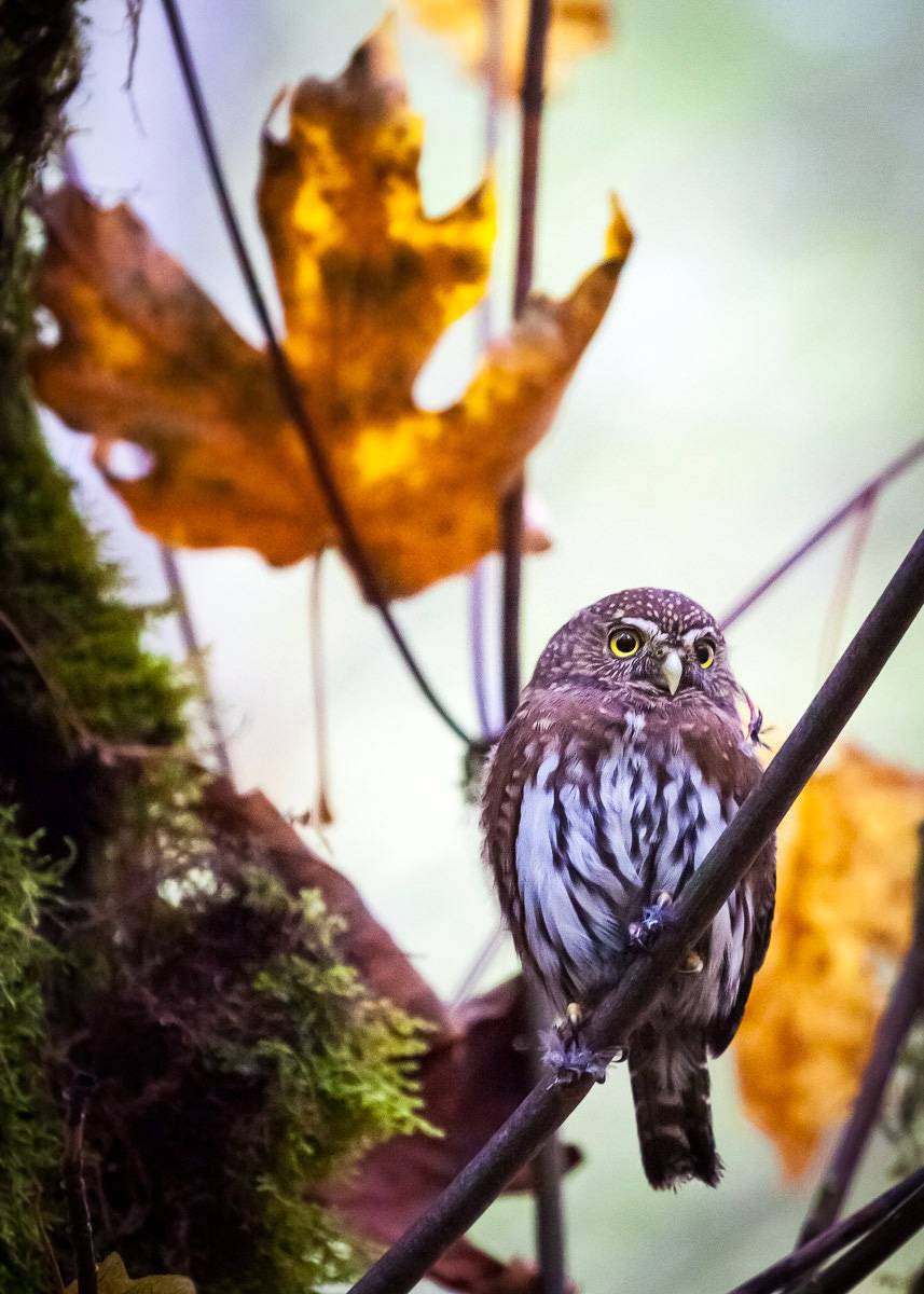 A Pygmy Owl sits perched on the branch of a maple tree next to the San Juan Spruce in Port Renfrew. Despite its cute looks and being about as small as a mini football, you can still see the feathers and flesh from a bird it must have been feeding on. The Vancouver Island Pygmy Owl subspecies is distinct and associated with older forests, and sadly, is on the decline. There may only be 500 breeding pairs left and old-growth logging is considered to be a major threat. I managed to get a single shot this little guy before he decided to fly off into the woods to carry on with his day.  Canon 5D MK2 | 70-200 f/4L IS lens | 1/400 sec | f/4 | ISO 3200.