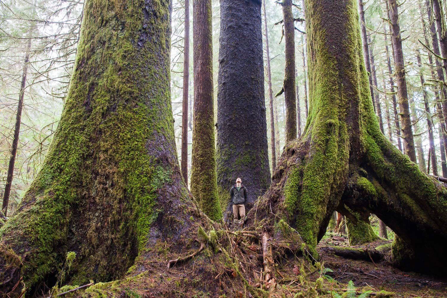 I feel most alive when alone in the woods. Your senses awaken and your intuition becomes your guiding voice. While wandering through a remote patch of old-growth forest in the Klanawa Valley between Bamfield and Nitinat Lake, I heard the sounds of twigs snapping up ahead. Eyes wide and hairs on end, awaiting to determine nature the sound, a large bull elk appeared along with a group of 4 or 5 females. Relieved (slightly), it was beautiful to see them up close as a guest in their home. As quietly as they appeared they slipped away back into the woods. As I fruitlessly tried to follow their path, I stumbled upon this incredible trio of Sitka spruce trees. You just never know what amazing experience may await around the next corner out there in the woods.  Canon 5D MK2   24-70 f/4L IS   0.6 sec   f/10   ISO 400.