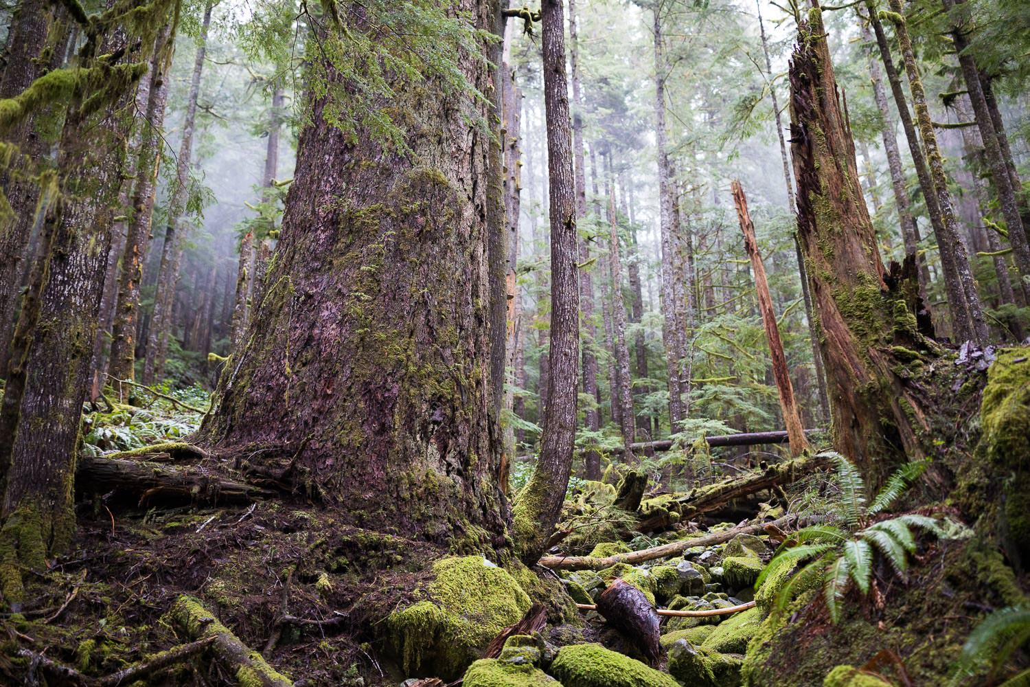 douglas-fir-temperate-rainforest-bc.jpg