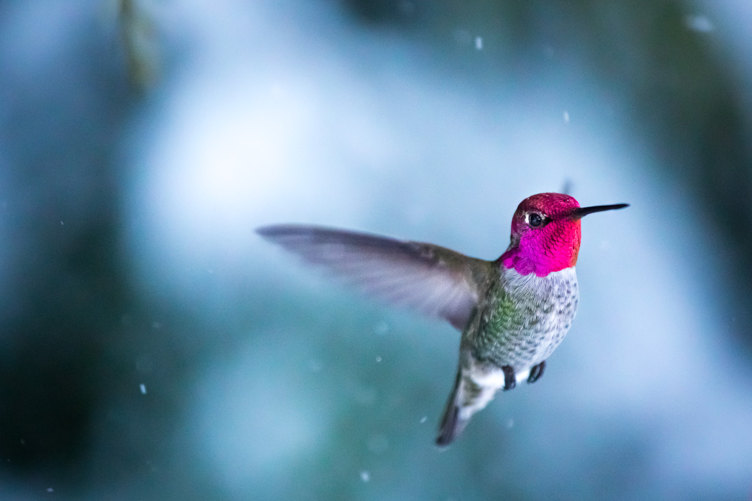 Early in 2017 I got hooked on photographing the beautiful Anna's hummingbirds living in our backyard. It was still winter and their colours stood out in shimmering contrast to the white snow. Since they move at incredible speeds, it was quite a challenge to capture a clear shot of one. But after spending many hours watching them, I began to notice some patterns as to where they would hover or perch on a branch. I set my camera up on a tripod underneath a make-shift blind and pre-focused the lens to the location I thought the birds would be. Then, using a remote live-view shooting feature on my new Canon 5D MKIV, I would trigger the camera from my phone at a distance. The plane of focus on the macro lens was razor thin so I was thrilled when I saw the bird's eyes and bright feathers were in focus. The little snowflakes falling around him topped it all off.