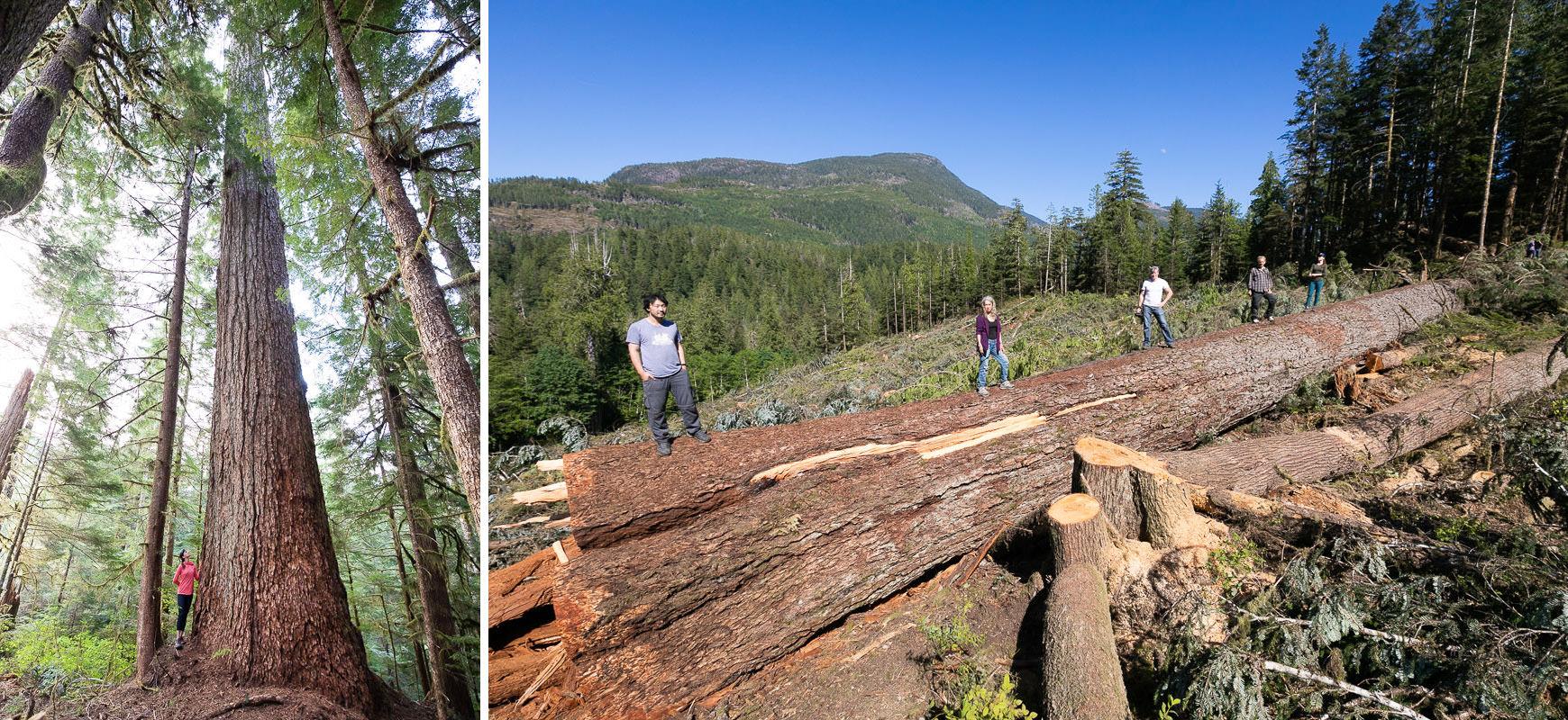 Before-After-logging-big-fir-tree-nahmint-valley-2.jpg