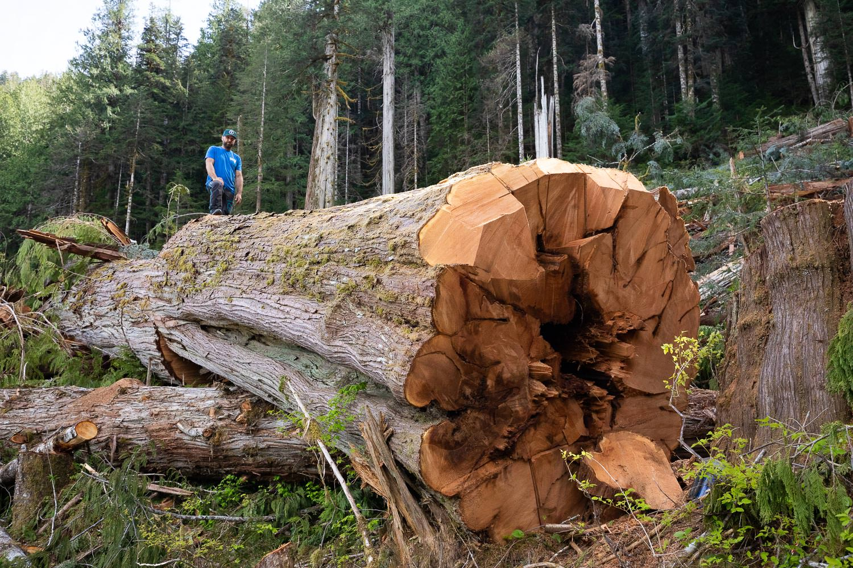 nahmint-valley-old-growth-cedar-logging.jpg