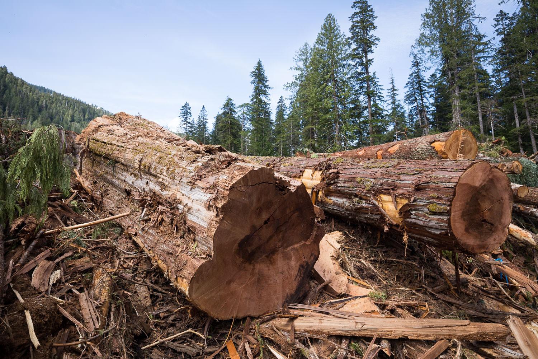nahmint-valley-old-growth-cedar-logs.jpg