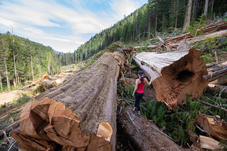 nahmint-valley-old-growth-clearcut-logging.jpg