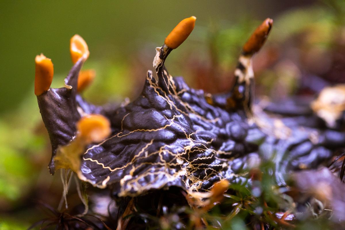 Frog pelt (Peltigera neopolydactyla)
