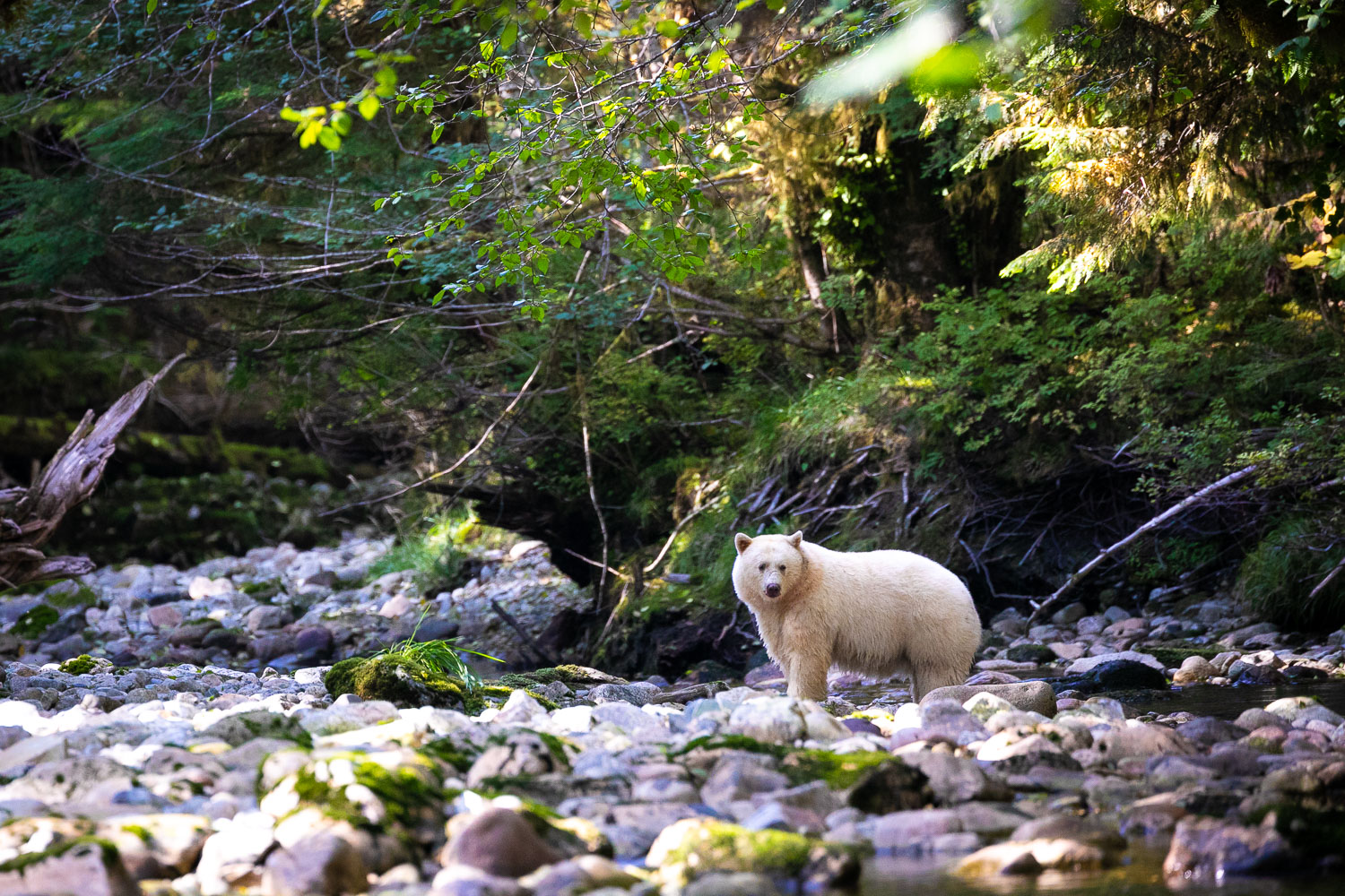 Drawn to the river by the smell of spawning salmon, a Spirit Bear named Warrior pauses momentarily in a sun-dappled creek before chasing after her lunch. Spirit Bears are not an albino but actually a white variant of a black bear and only a few hundred are thought to exist on Earth. Patience, local knowledge, and a lot of luck are the most important ingredients when hoping to view one of the world's rarest animals. Thankfully, legendary Gitga'at bear guide, Marven Robinson, helped us to fulfill our dreams on this trip.