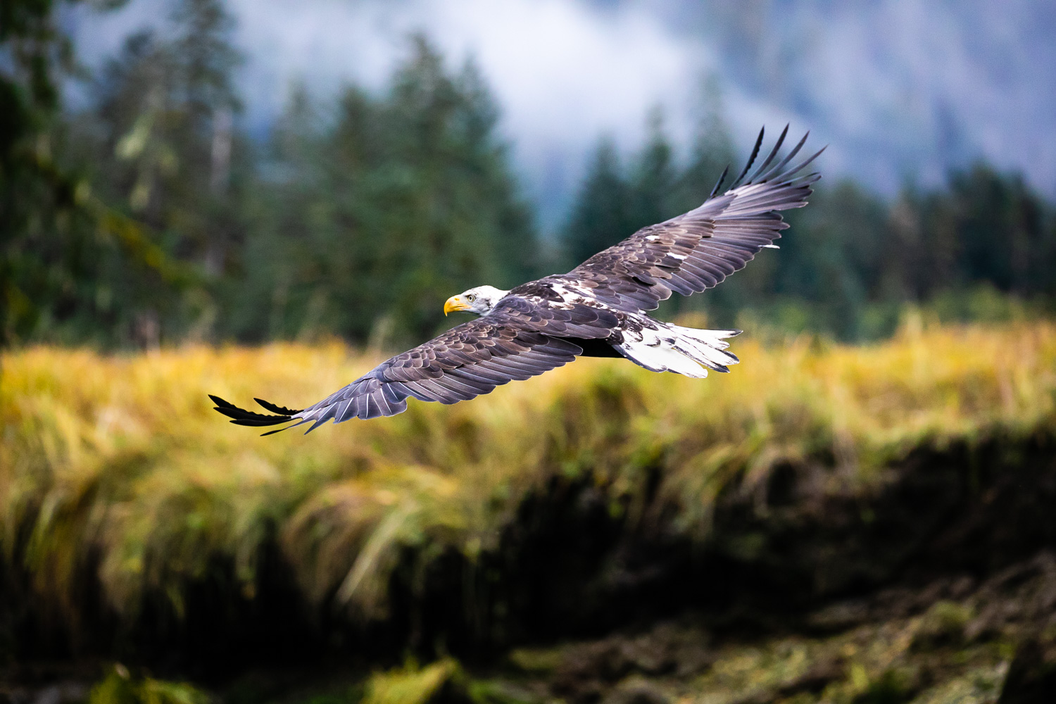 A bald eagle soars through the Khutze River Valley in the Great Bear Rainforest on BC's north coast. During the fall salmon run, hundreds of eagles can be seen perched in trees and fishing along the rivers. By carrying the dead salmon off into the woods, the eagles help to fertilize the forest as the decomposing carcasses release nitrogen into the soil. Capturing birds in flight is always a difficult challenge, so I was thrilled to see the eye contact in this image and the beautiful definition in the wings and feathers.