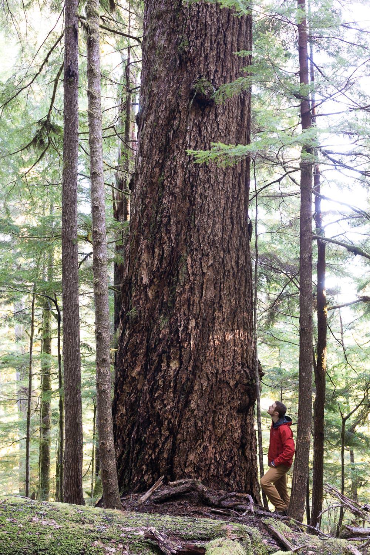 edinburgh-mt-fir-tree-before.jpg