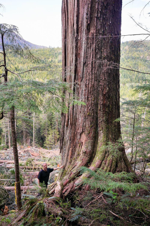 nahmint-valley-cedar-tree-before.jpg